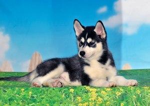 хаски купить щенка в москве цена открыт богослужения проводятся
